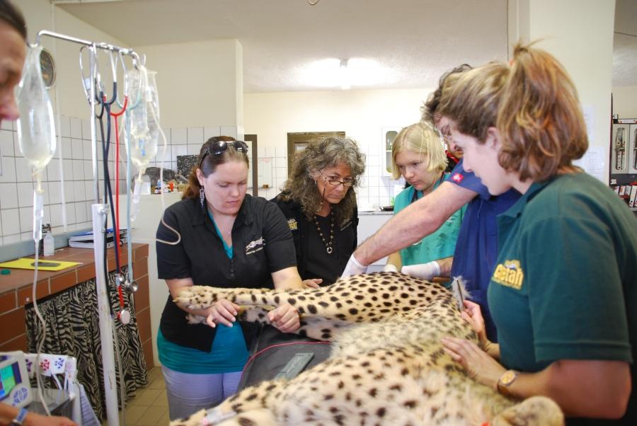 Ogni giorno, 3 o 4 ghepardi analizzati dall'équipe