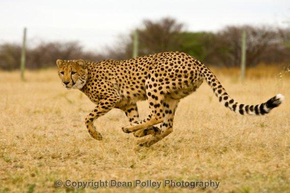 Un ghepardo in corsa al Cheetah Conservation Fund, Namibia