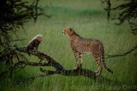 Wild Cheetahs, Kenia