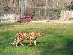 Visita ai ghepardi