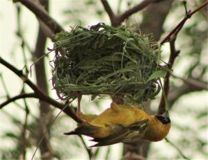 16.5 Tessitore nel nido