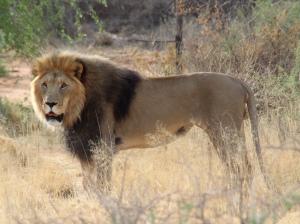 16.6 Il Re Leone